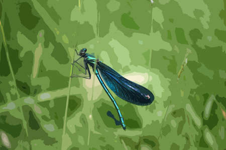 grass blades: beautiful petrol blue green dragonfly on a blade of grass