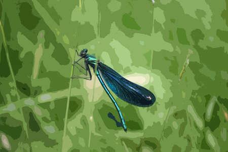 grass blade: beautiful petrol blue green dragonfly on a blade of grass