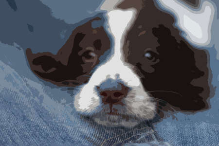 gundog: Very cute young liver and white working type english springer spaniel pet gundog puppy
