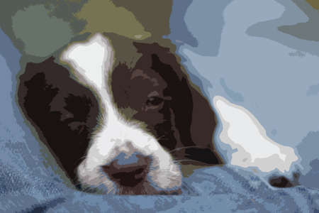 gundog: Very cute young liver and white working type english springer spaniel pet gundog puppy