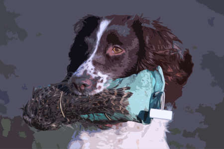 springer spaniel: working type english springer spaniel carrying a pheasant Illustration
