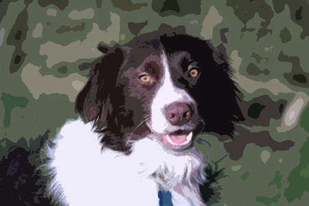 doggies: Handsome springer collie cross pet dog