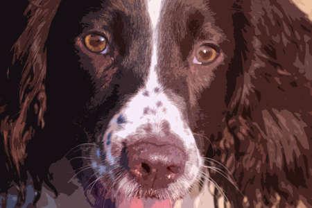 gundog: Close up of a working type english springer spaniel pet gundog