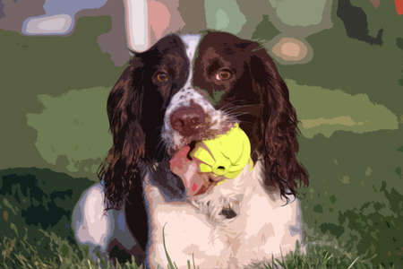 lay down: A working type english springer spaniel pet gundog with a yellow tennis ball Illustration