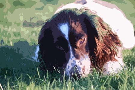 puppydog: working type english springer spaniel pet gundog eating raw food