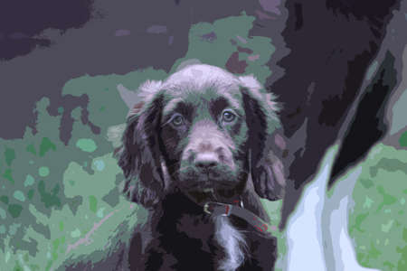 cocker: A very cute liver working cocker spaniel pet gundog