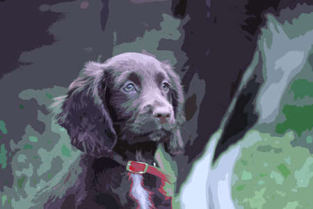 cocker: Ein sehr nettes Leber Arbeitscockerspaniel Haustier Jagdhund