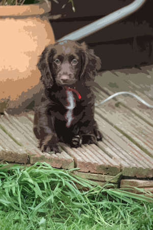 cocker: A very cute liver working cocker spaniel pet gundog