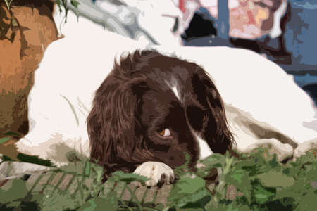 puppydog: Very cute liver and white working type english springer spaniel