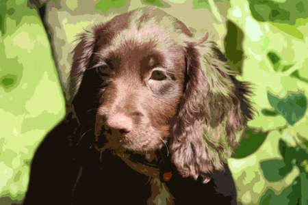 cocker: very cute smal liver working cocker spaniel pet gundog