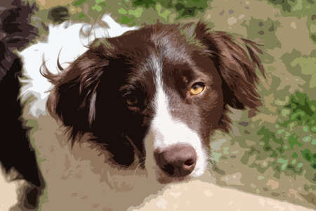 collie: cute handsome liver and white sprollie springer collie cross pet dog