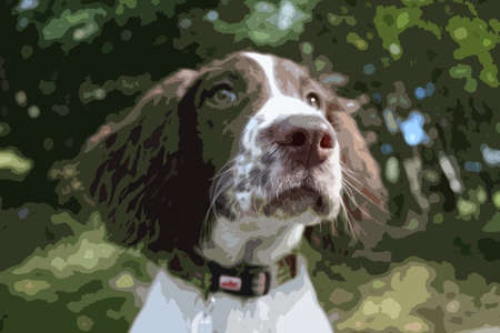 doggies: close up of a cute working type english springer spaniel pet gundog