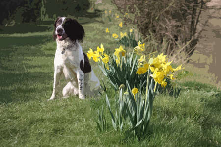 english countryside: a cute springer spaniel next to some yellow daffodil flowers