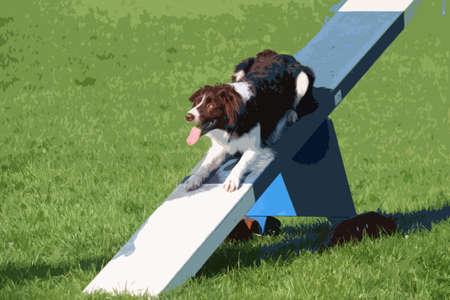 agility: A very cute springer cross collie dog on agility equipment
