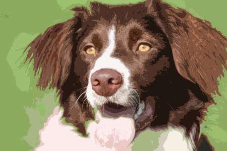 mongrel: very cute liver and white collie cross springer spaniel pet dog