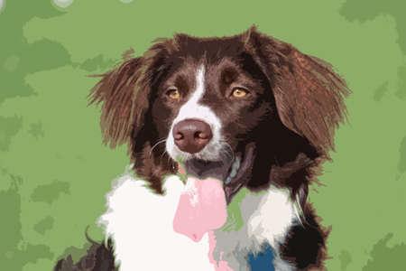 springer: very cute liver and white collie cross springer spaniel pet dog
