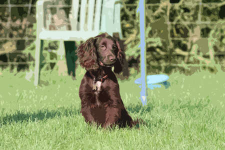 cocker: very cute young small chocolate liver working type cocker spaniel