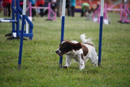 puppydog: Cute working type English Springer Spaniel doing agility weave poles Stock Photo
