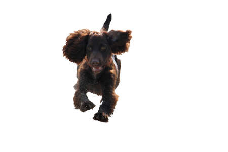 puppydog: very cute young liver working type cocker spaniel puppy running on a sandy beach Stock Photo