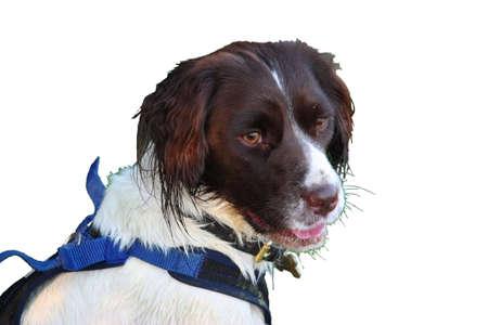 puppydog: a very cute liver and white working type english springer spaniel pet gundog
