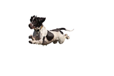 into: liver and white working type english springer spaniel pet gundog leaping into the sea