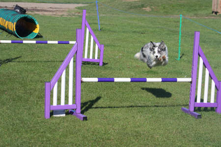 blue merle collie pet dog doing agility
