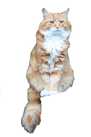 ginger haired: Beautiful long haired ginger cat