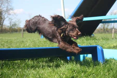Working type cocker spaniel pet gundog doing agility