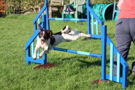 doggies: english springer spaniel doing agility