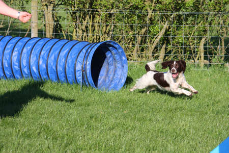 springer spaniel: english springer spaniel doing agility