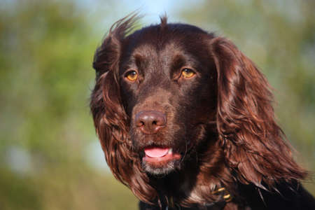 puppydog: Liver coloured working type cocker spaniel pet gundog