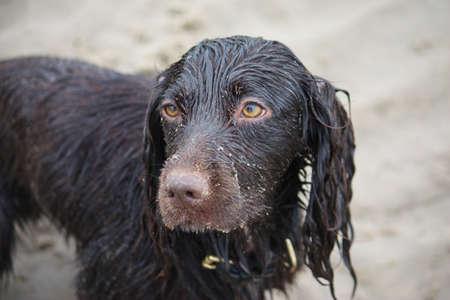 Handsome wet chocolate working type cocker spaniel puppy dog