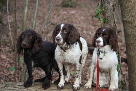 Three working spaniel pet gundogs sat together