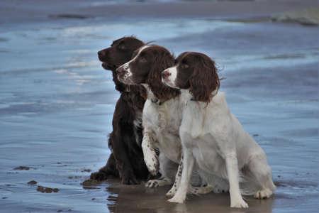 Three working spaniel pet gundogs sat together on a beach