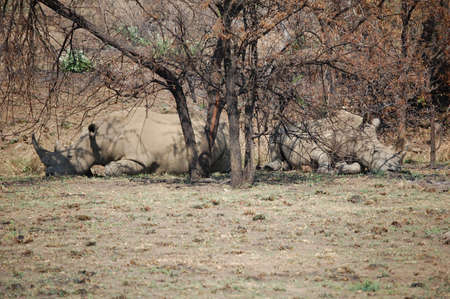 under a tree: Two large african rhinos lying under a tree Stock Photo