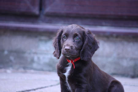 very cute brown working type cocker spaniel pet gundog puppy