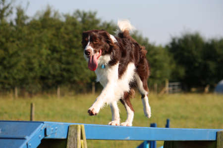 cute red and white spaniel collie cross pet working dog doing agility Stock Photo