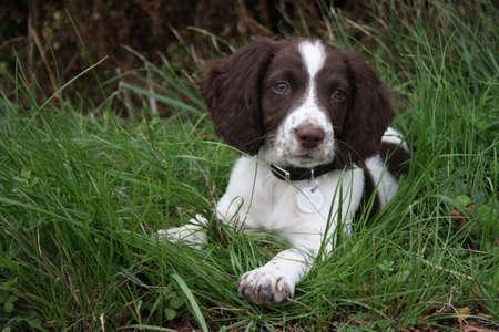 若い肝臓と白の作業種類英語・ スプリンガー ・ スパニエル ペットの銃猟犬子犬