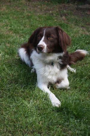 作業犬クロスかわいい赤と白のスパニエル コリー