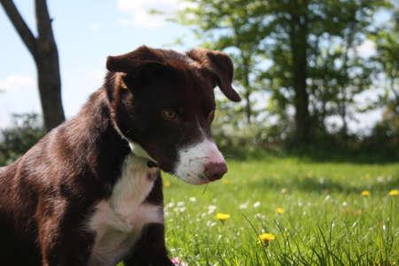 滑らかなコーティング赤と白ボーダー コリー犬 写真素材