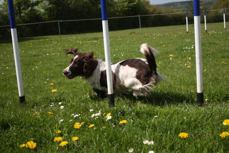 liver and white working type english springer spaniel pet gundog running through agility weaves Stock Photo