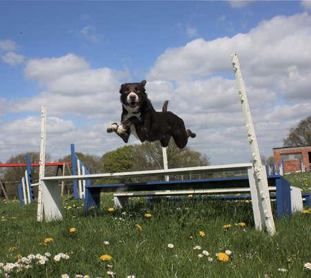 赤と白を滑らかにコーティングのボーダーコリーの敏捷性のジャンプをジャンプ 写真素材