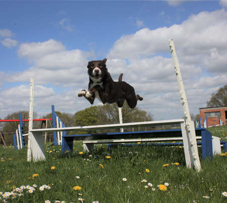 Red and white smooth coated border collie jumping an agility jump