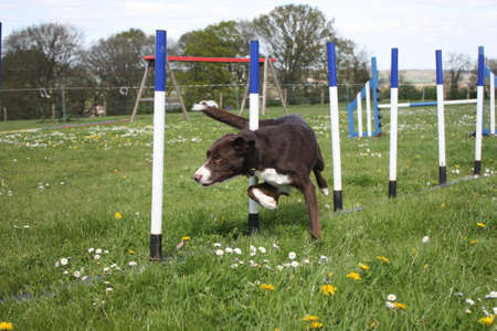 red and white smooth coated border collie running through agility weaves