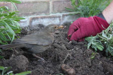 なって土壌たての清掃の女性の茶色のブラックバードのワームします。