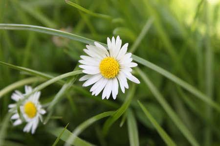 草の前に白と黄色のデイジーの花