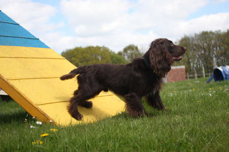Working type cocker spaniel pet gundog standing on an agility contact