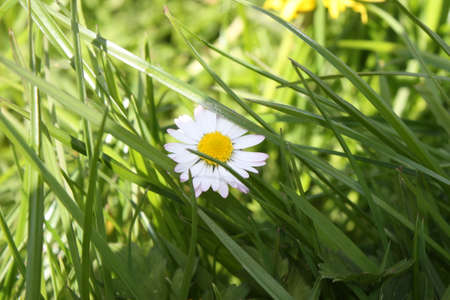 white and yellow daisy flower in front of grass Stock Photo