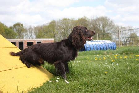 作業の種類コッカー ・ スパニエル ペット銃猟犬敏捷性接触の上に立って 写真素材