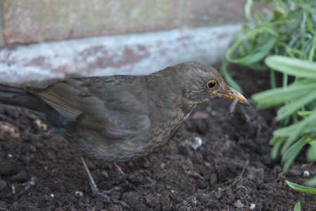 Brown female blackbird scavenging for worms in freshly turned soil Stock Photo